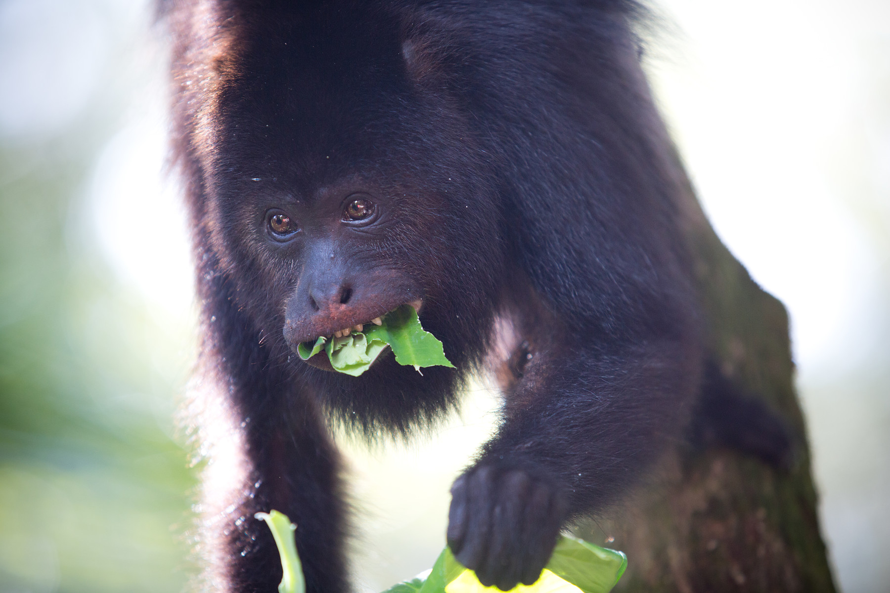 Howler Monkeys // Community Baboon Sanctuary // Belize
