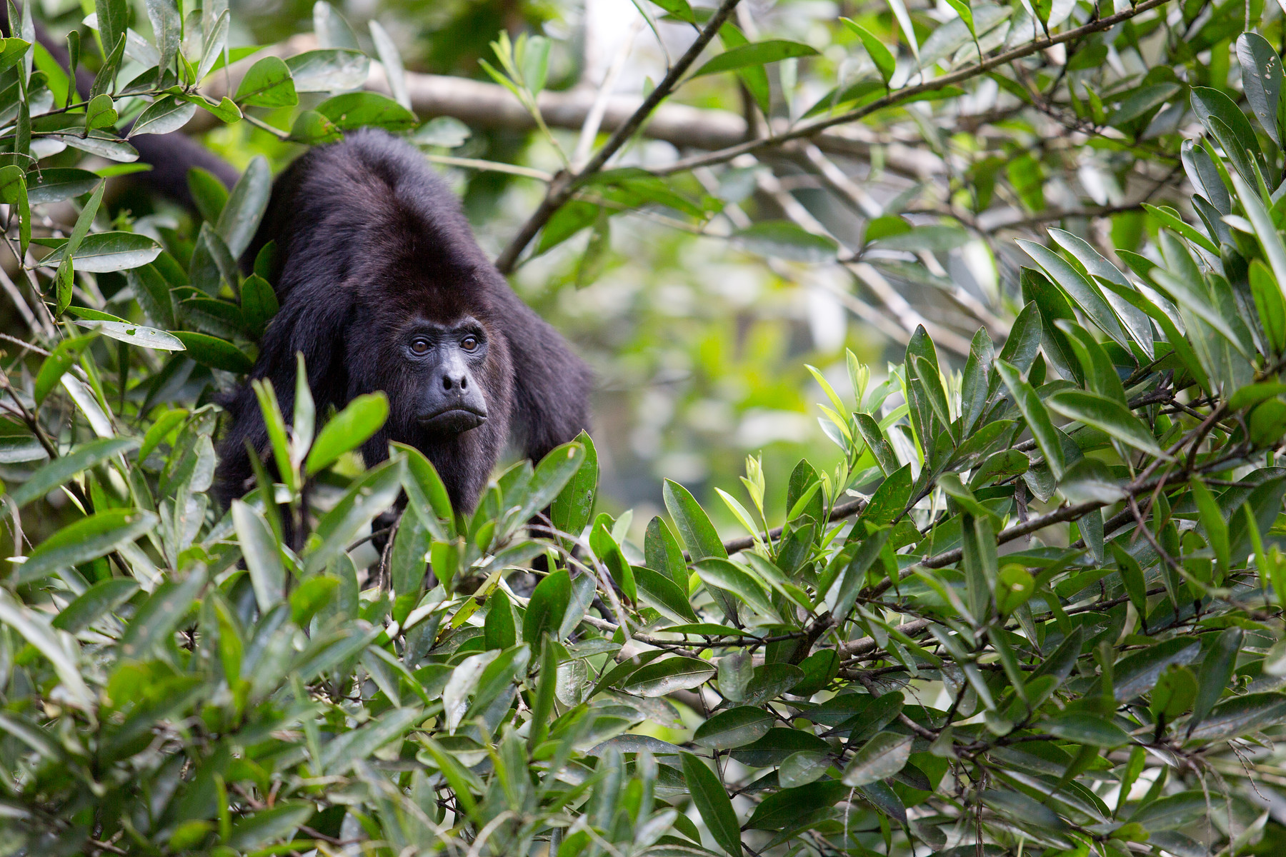 Howler Monkeys //Baboon Sanctuary // Belize