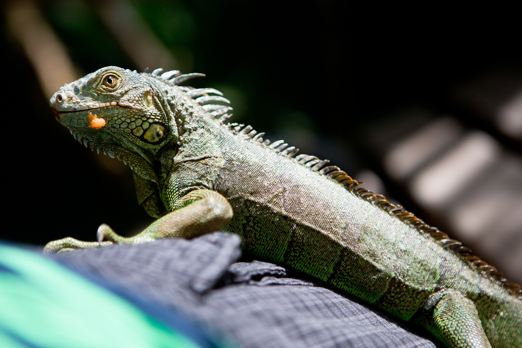 Green Iguana Conservation Project // San Ignacio // Belize