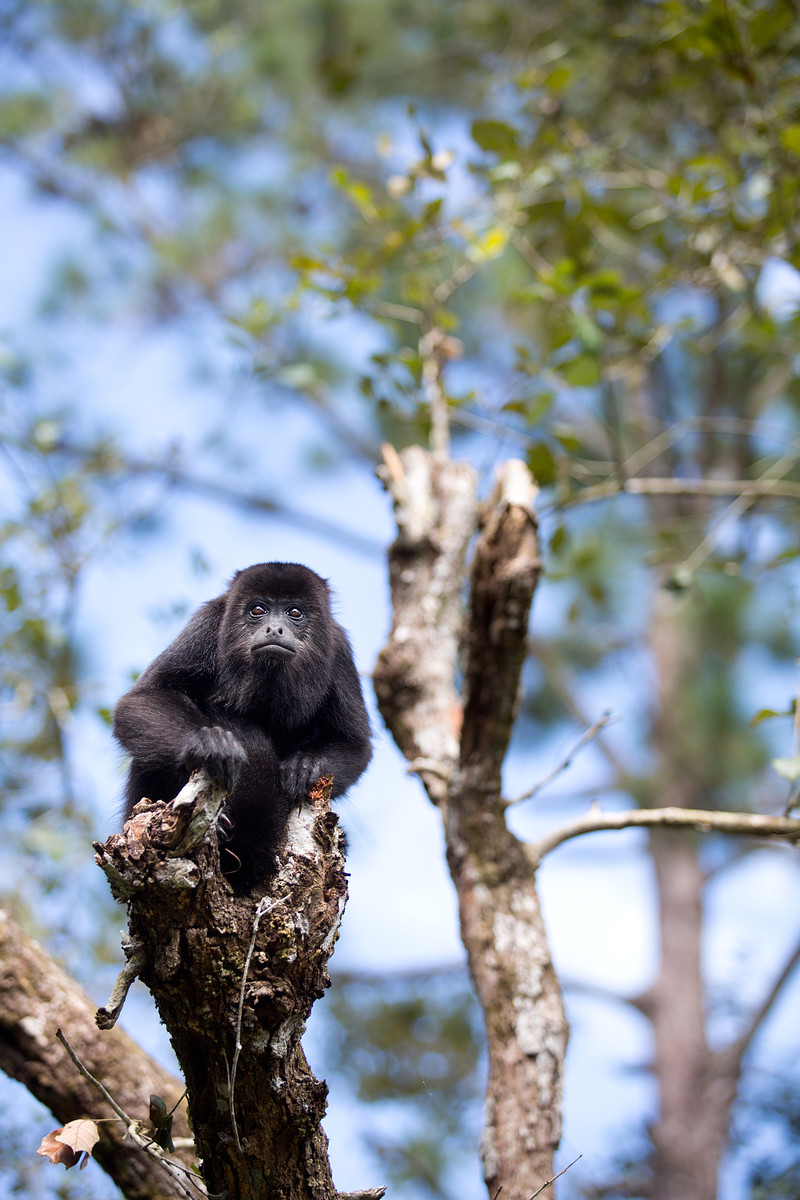 Howler Monkeys // Belize Zoo // Belize