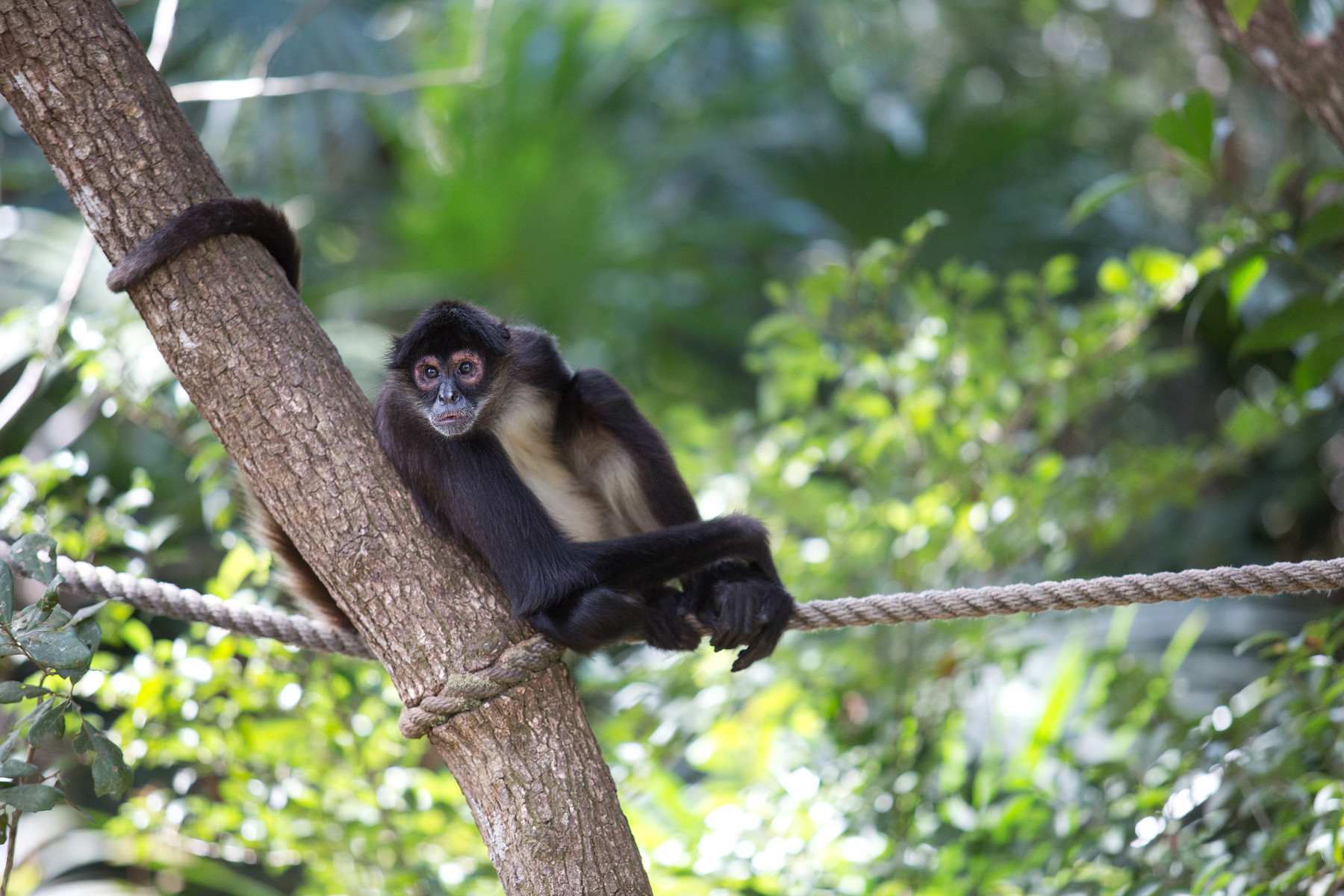 Spider Monkeys // Belize Zoo // Belize