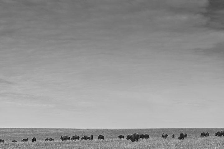 bison skape