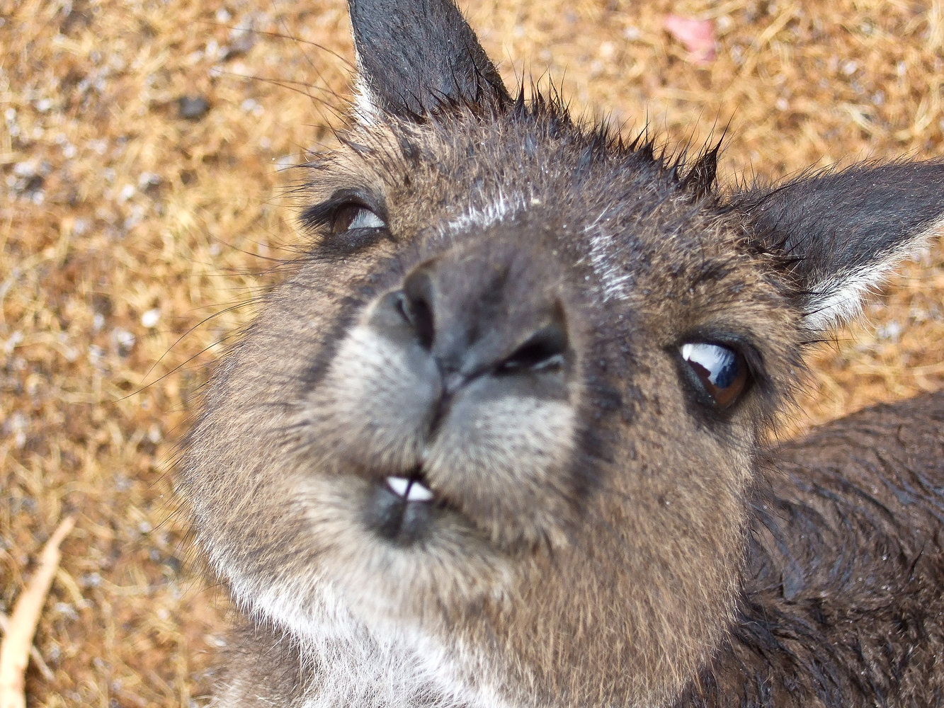 Kangeroo - Australia
