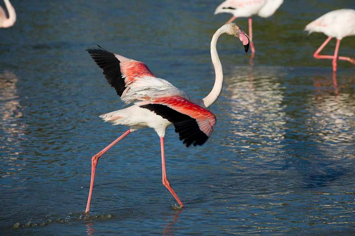 Greater Flamingo 2