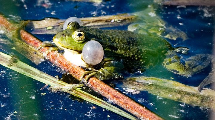 Frog Calling