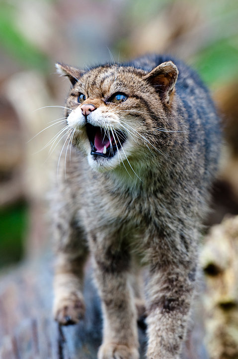 One Toothed Wildcat
