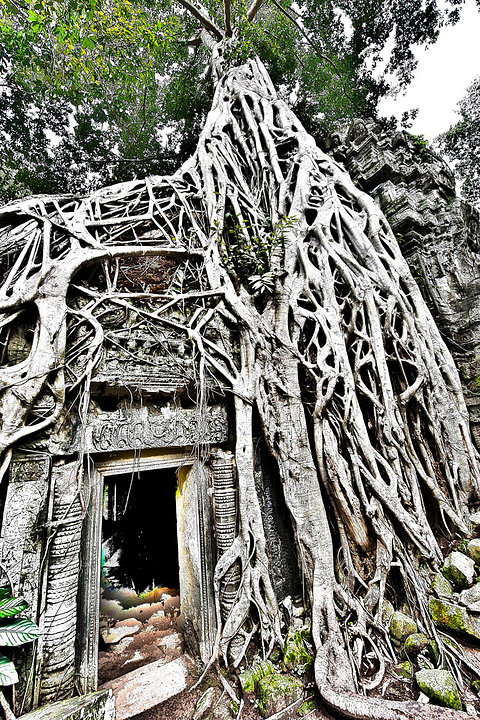 Strangler Fig Tree - Ta Phrom Temple