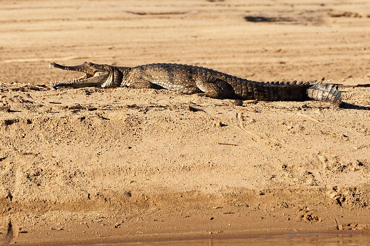 Freshwater Crocodile at Geikie Gorge