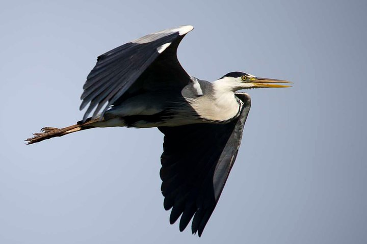 Grey Heron in Flight 2