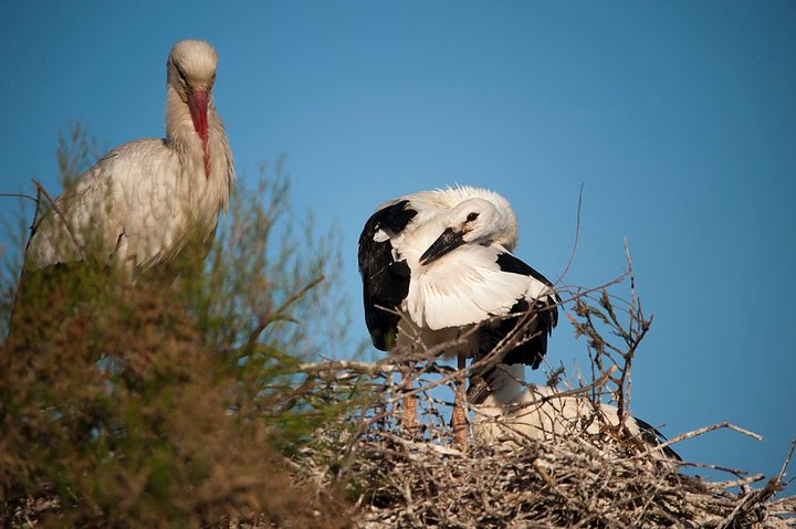 White Stork and Chicks
